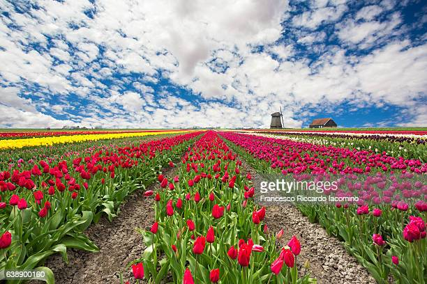 tulips and windmills in netherlands - tulipano foto e immagini stock