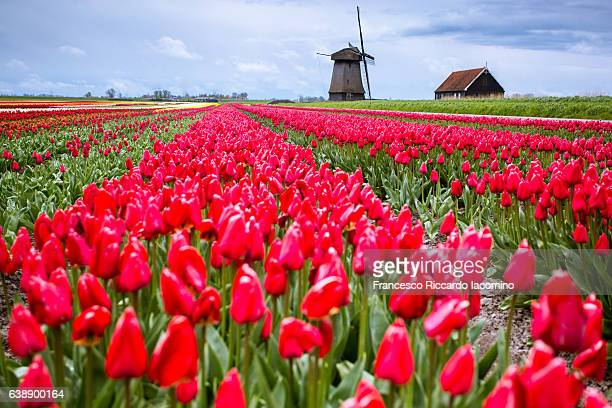Tulips and windmills in Netherlands