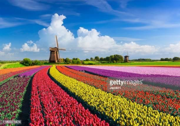 チューリップと風車 - オランダ ストックフォトと画像