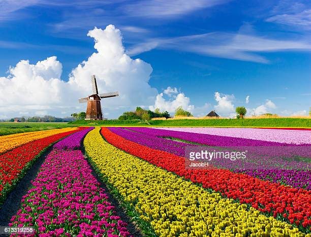 tulips and windmills - netherlands stock pictures, royalty-free photos & images