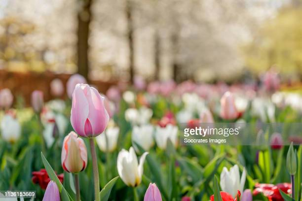 Tulips are in full bloom at the Keukenhof the world's largest flower and tulip garden park during the Keukenhof Gardens at the Keukenhof Gardens on...