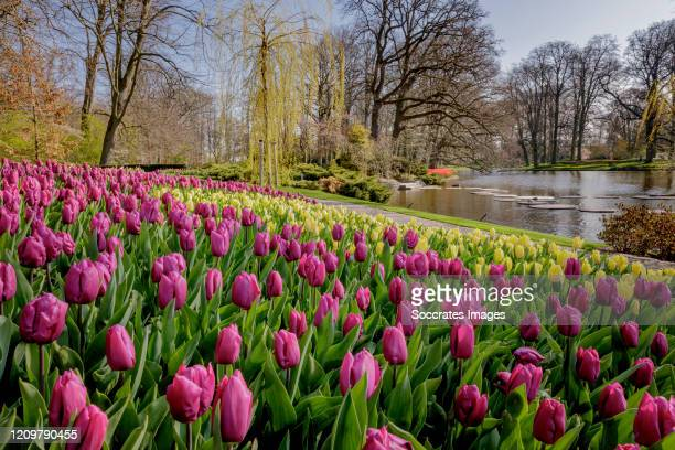Tulips are in full bloom at the Keukenhof the world's largest flower and tulip garden on April 2 2020 in Lisse Netherlands Due to coronavirus the...