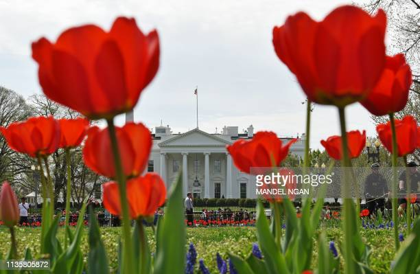TOPSHOT Tulips are seen at Lafayette Square across from the White House in Washington DC on April 8 2019