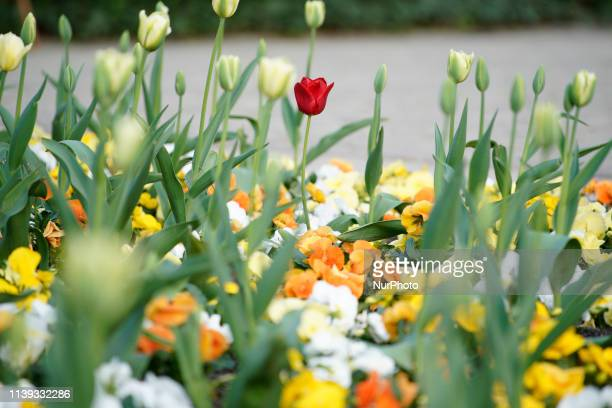 Tulips are seen blooming on a warm Spring day in the Royal Baths Park in Warsaw Poland on April 25 2019