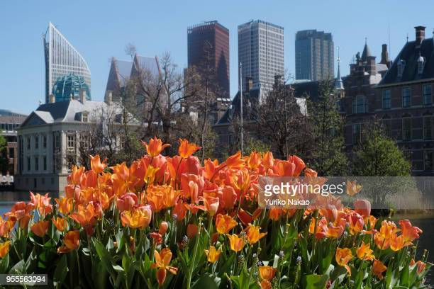 Tulips bloom in front of the Binnenhof against a backdrop of highrise buildings on May 3 in The Hague Netherlands