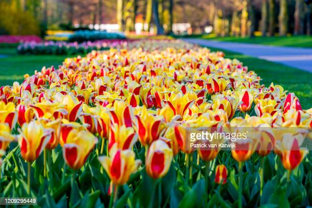Tulips bloom in the Keukenhof flower garden which is closed because of the Corona Crisis on April 06 2020 in Lisse Netherlands The Coronavirus...
