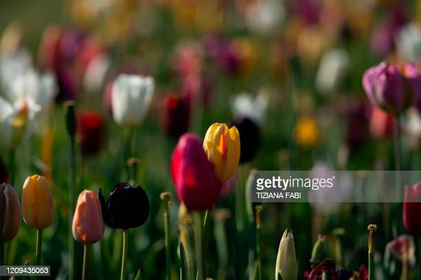 Tulips bloom in the Roma Flowers Park on the outskirts of the Italian capital Rome on April 8, 2020. - Roma Flowers Park and Interflora have donated...