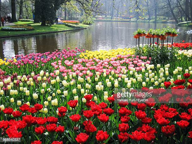 tulips blooming at keukenhof gardens - keukenhof gardens stock pictures, royalty-free photos & images