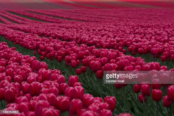 Tulips blossom on a field on April 22 2012 in Schwaneberg near Magdeburg Germany Following the coldest Easter weather in 50 years temperatures are...