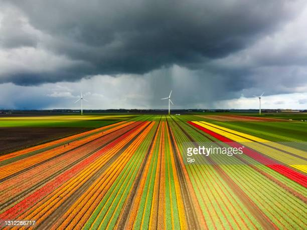 "tulips blossoming in a field with a dark storm sky above aerial drone view - ""sjoerd van der wal"" or ""sjo"" stock pictures, royalty-free photos & images"