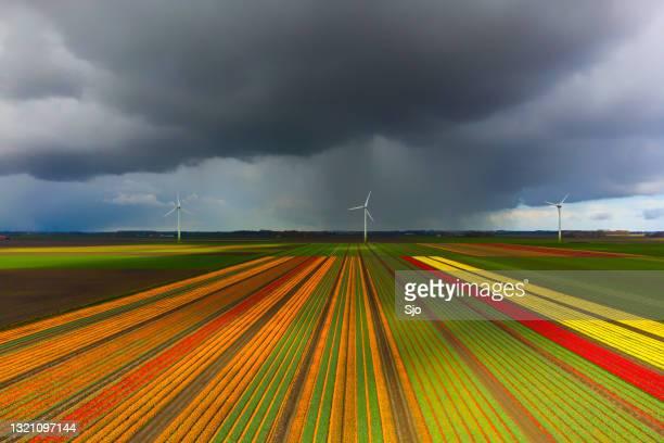 """tulpen die op een gebied met een donkere onweershemel hierboven tijdens de lente in holland tot bloei komen - """"sjoerd van der wal"""" or """"sjo""""nature stockfoto's en -beelden"""