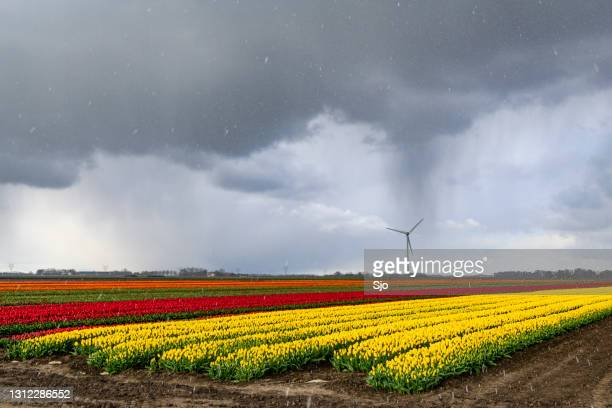 "tulips blossoming in a field with a dark storm sky above - ""sjoerd van der wal"" or ""sjo"" stock pictures, royalty-free photos & images"