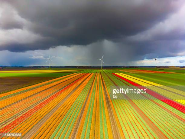 """tulips blossoming in a field with a dark storm sky above - """"sjoerd van der wal"""" or """"sjo"""" stock pictures, royalty-free photos & images"""