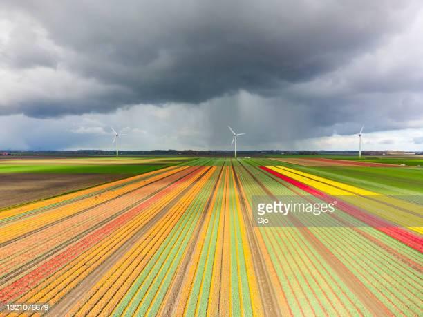 """tulpen die op een gebied met een donkere onweershemel hierboven tot bloei komen - """"sjoerd van der wal"""" or """"sjo""""nature stockfoto's en -beelden"""