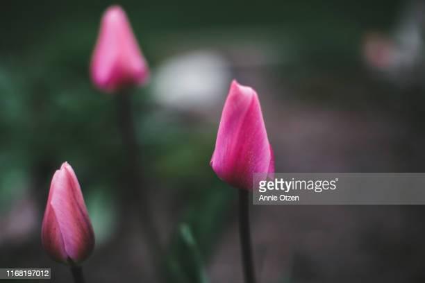 tulips buds - 蕾 ストックフォトと画像