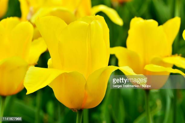 tulips closeup - sergei stock pictures, royalty-free photos & images