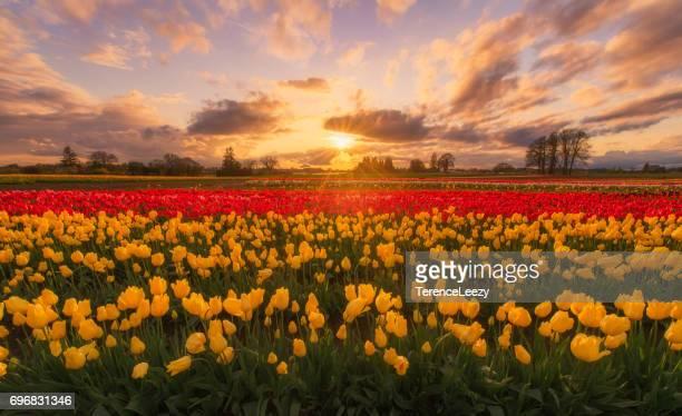Tulips farm at sunrise