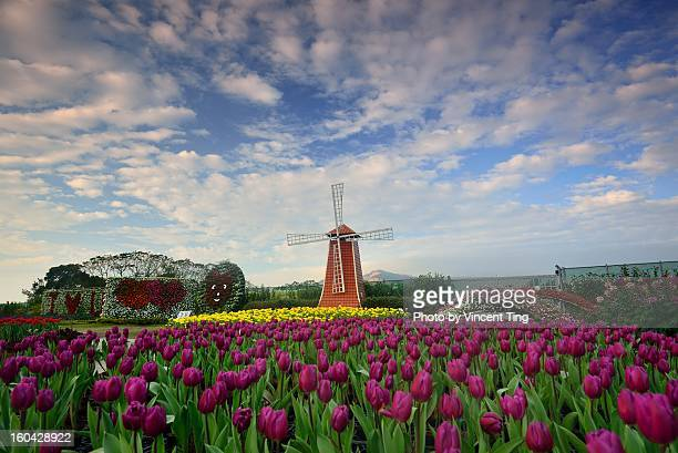 Tulips field and windmill