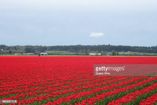 tulips field western wa - who stock pictures, royalty-free photos & images