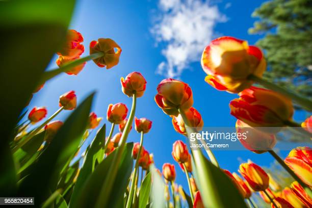 tulips from ground up - lehi stock photos and pictures