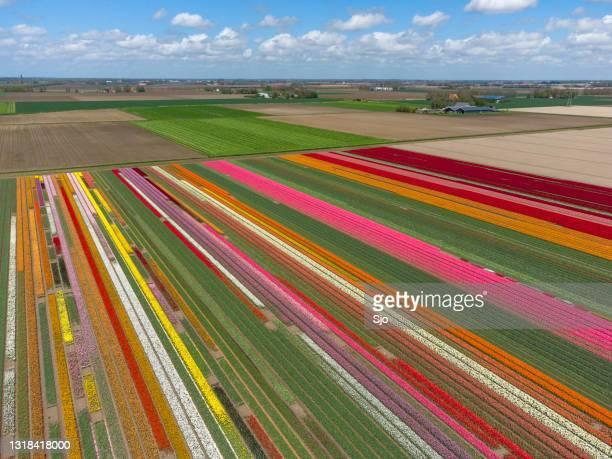"""tulpen die op een gebied tijdens een mooie de lentedag groeien - """"sjoerd van der wal"""" or """"sjo""""nature stockfoto's en -beelden"""