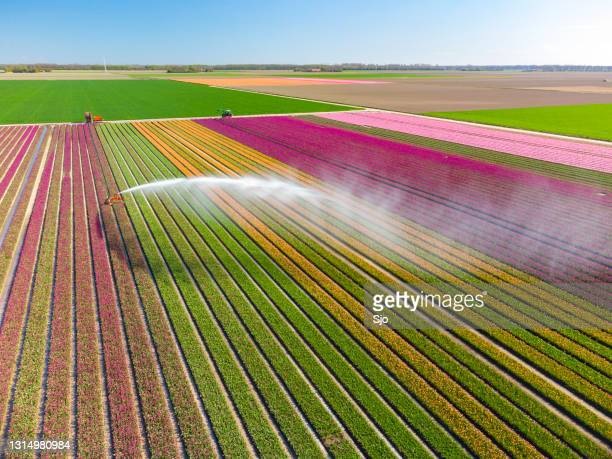 """tulips growing in agricutlural field during springtime seen from above with an agricultural irrigation sprinkler - """"sjoerd van der wal"""" or """"sjo"""" stock pictures, royalty-free photos & images"""