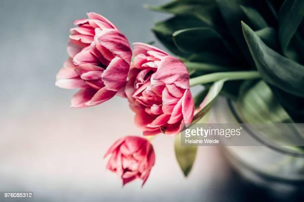 tulips in a vase - stilleven stockfoto's en -beelden