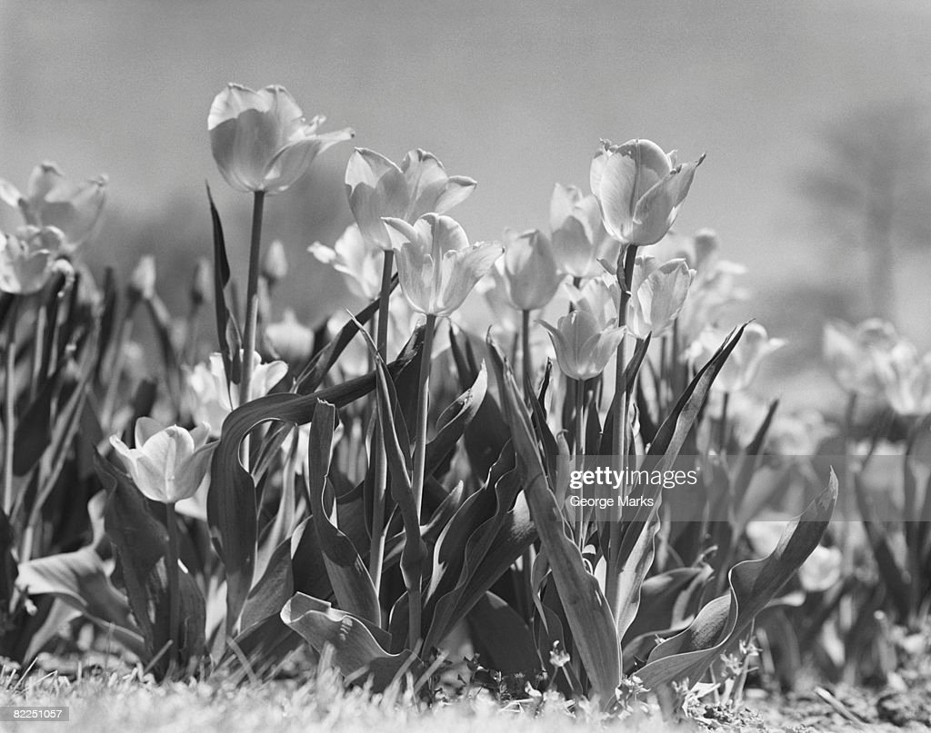 Tulips in bloom : Stock Photo