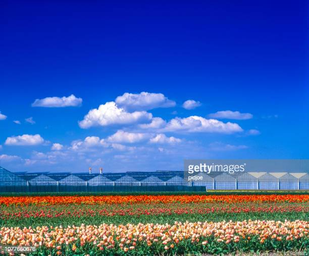 Tulips in flower field and greenhouses in Netherlands