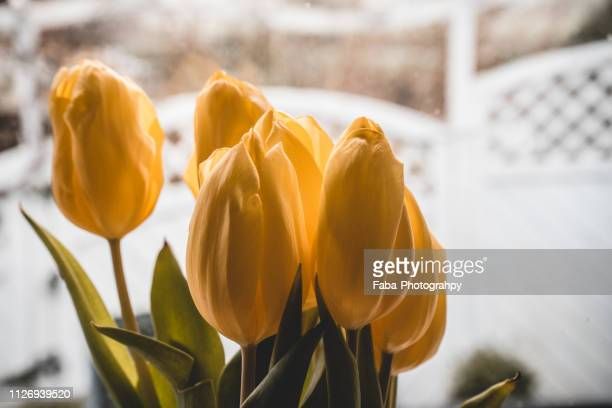 Tulips in front of window