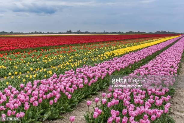 tulips in full color - groningen provincie stockfoto's en -beelden