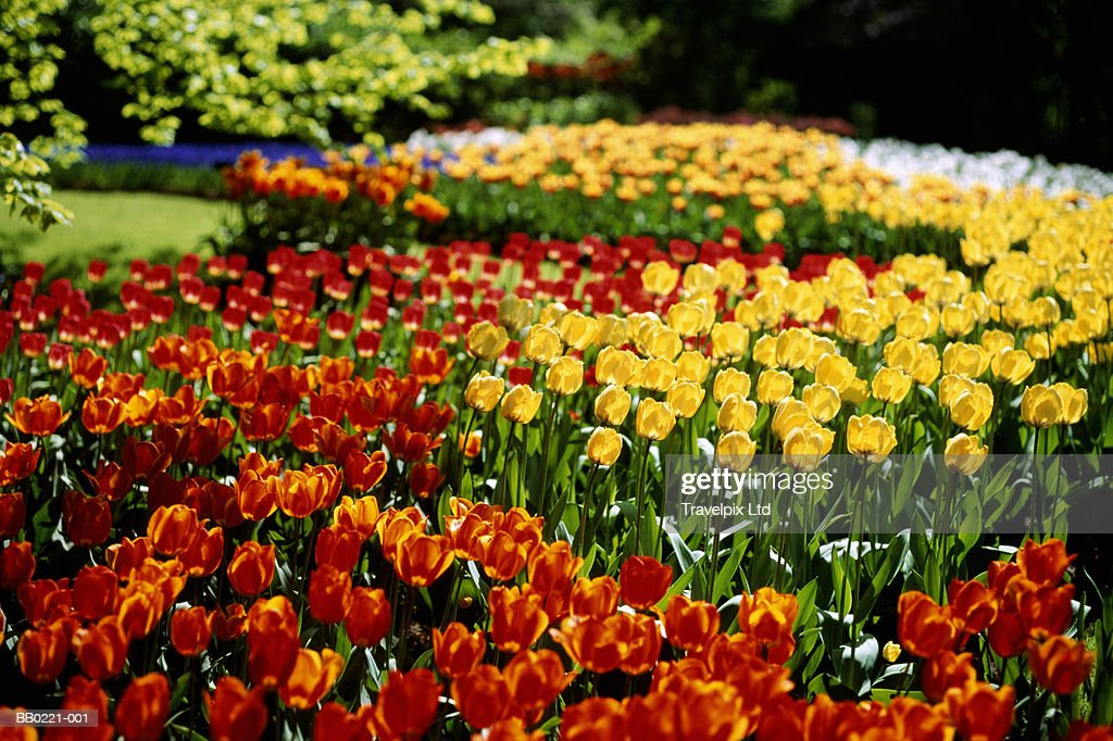 Tulips in garden, spring : Stock Photo