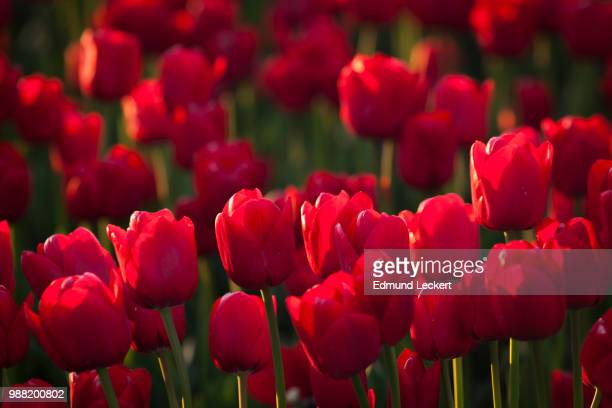 Tulips in Late Afternoon, RoozenGaarde Tulip Farm, Mt. Vernon, Washington