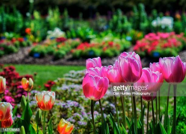 Tulips in park
