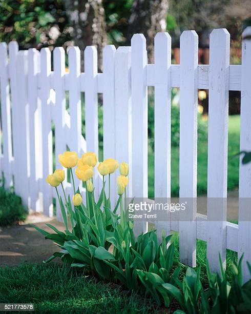 Tulips in suburbia