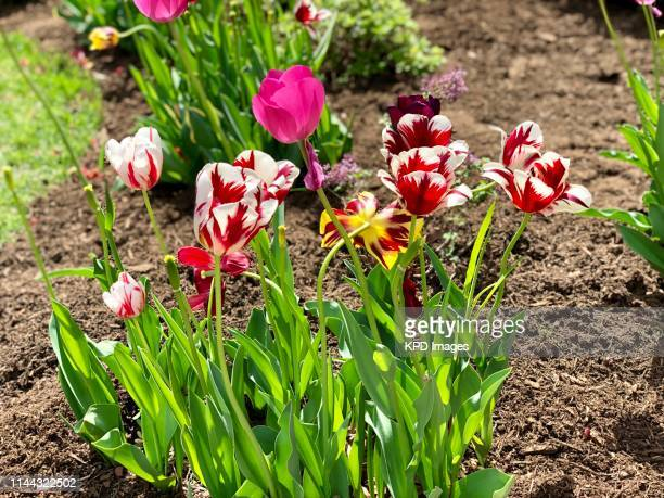 tulips in the yard - mulch stock pictures, royalty-free photos & images