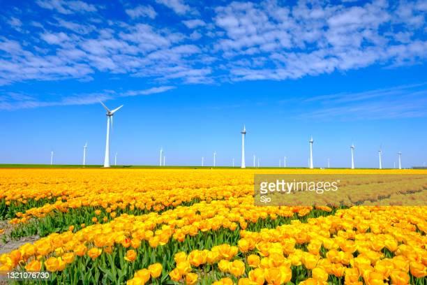 """tulpen in geel groeiend op een gebied met windturbines op de achtergrond tijdens de lente - """"sjoerd van der wal"""" or """"sjo""""nature stockfoto's en -beelden"""