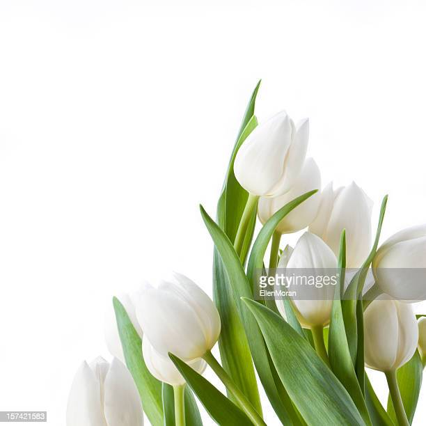 Tulips isolated on white
