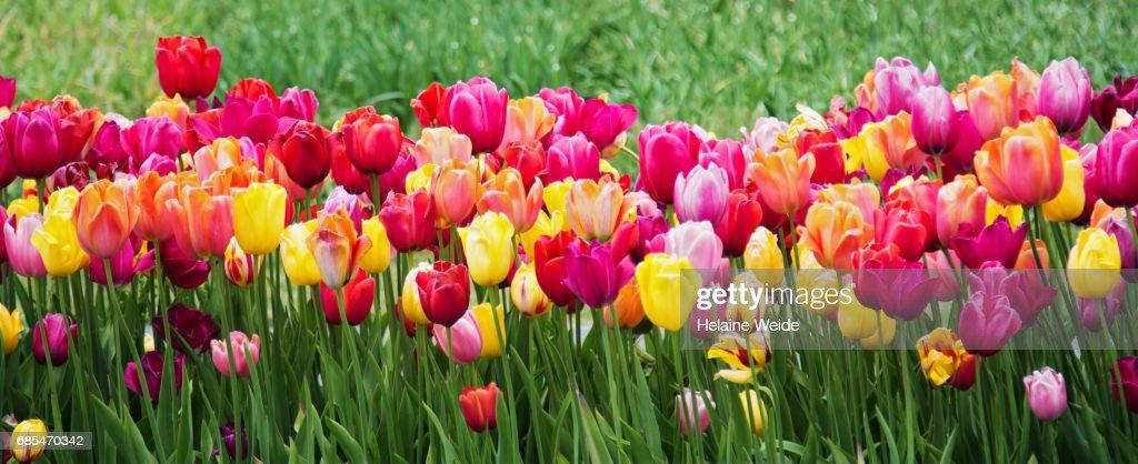 tulips landscape : ストックフォト