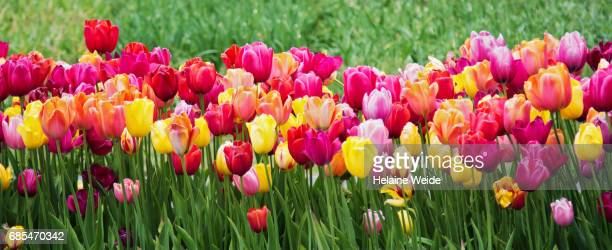 tulips landscape - tulip stock pictures, royalty-free photos & images