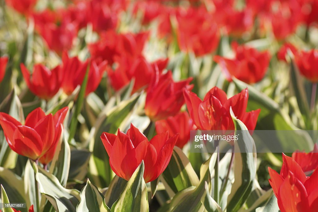 Tulips - lots of them : Stock Photo