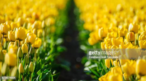 tulips of the netherlands