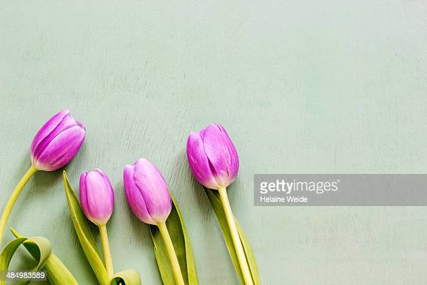 tulips on a mint green background - mint green stock pictures, royalty-free photos & images