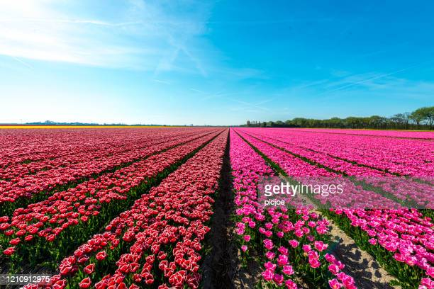 tulips on a sunny field in spring - netherlands stock pictures, royalty-free photos & images