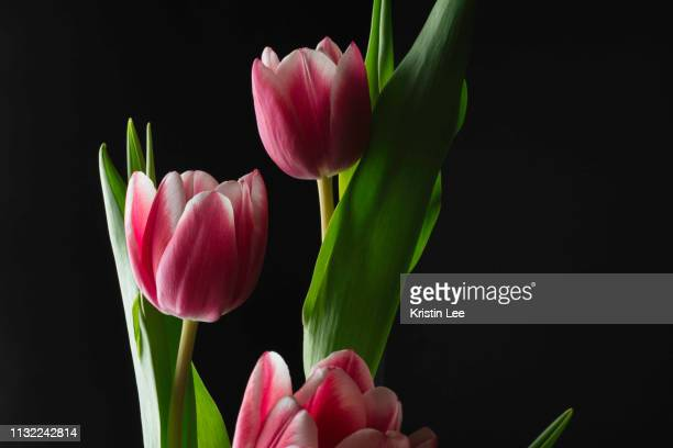 569 Tulip On A Black Background Photos And Premium High Res Pictures Getty Images
