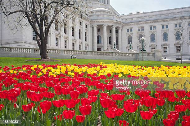 tulips on the capitol lawn 2 - madison wisconsin stock pictures, royalty-free photos & images