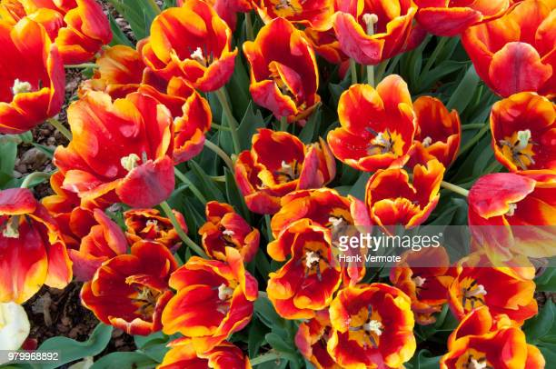 tulips opening - hank vermote stock pictures, royalty-free photos & images