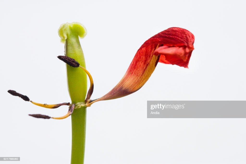 Tulip's petal and pistil.