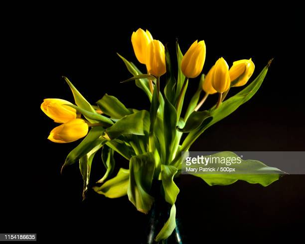 tulips - letchworth garden city stock photos and pictures