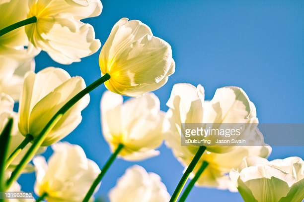 tulips - s0ulsurfing stock pictures, royalty-free photos & images